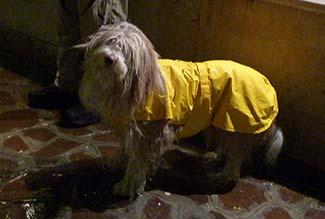 Bearded Collie in raincoat