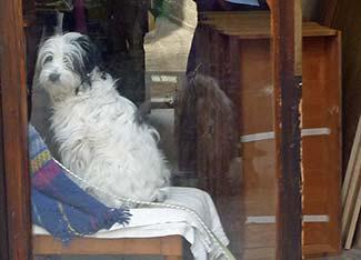 Dog in Venice shop window