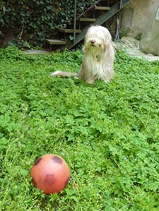 Bearded Collie with ball
