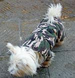 West Highland White Terrier in military camouflage