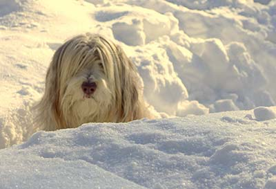 Bearded Collie in snow