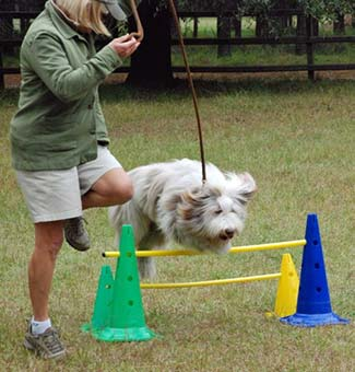 Phoebe on agility course