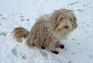 Bearded Collie in boots