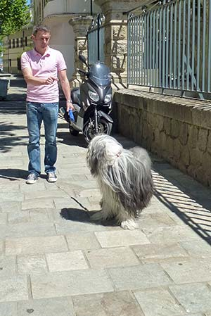 Bearded Collie in Corsida