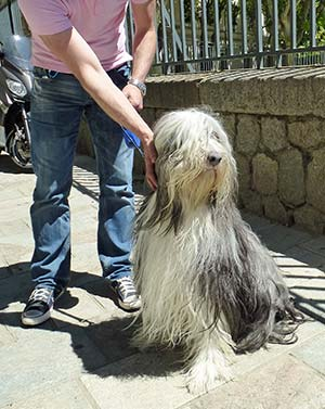 Bearded Collie in Ajaccio