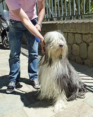 Bearded Collie in Ajaccio