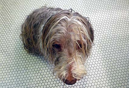 Bearded Collie after a bath