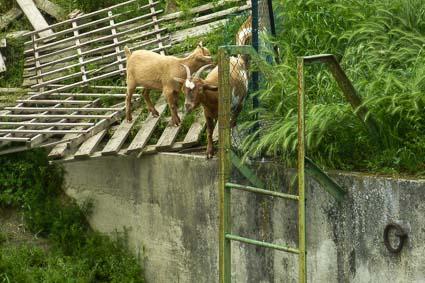 Goats at Conca di San Leone