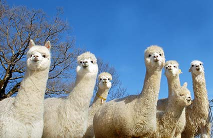 Alpacas in Umbria, Italy